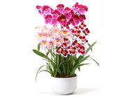 Special Miltonia~3colors~